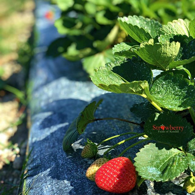 Strawberry Fields of Kendall - Miami Webpagedepot