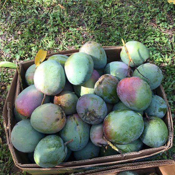 Nick's Island Tropical Fruit - Merritt Island Facilities