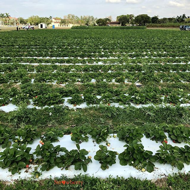 Strawberry Fields of Kendall - Miami Strawberry